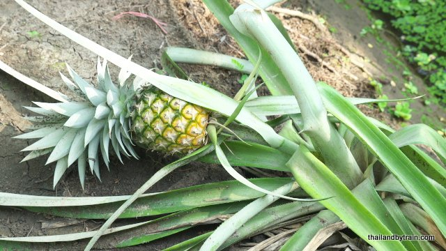 So that's how Pineapples grow!